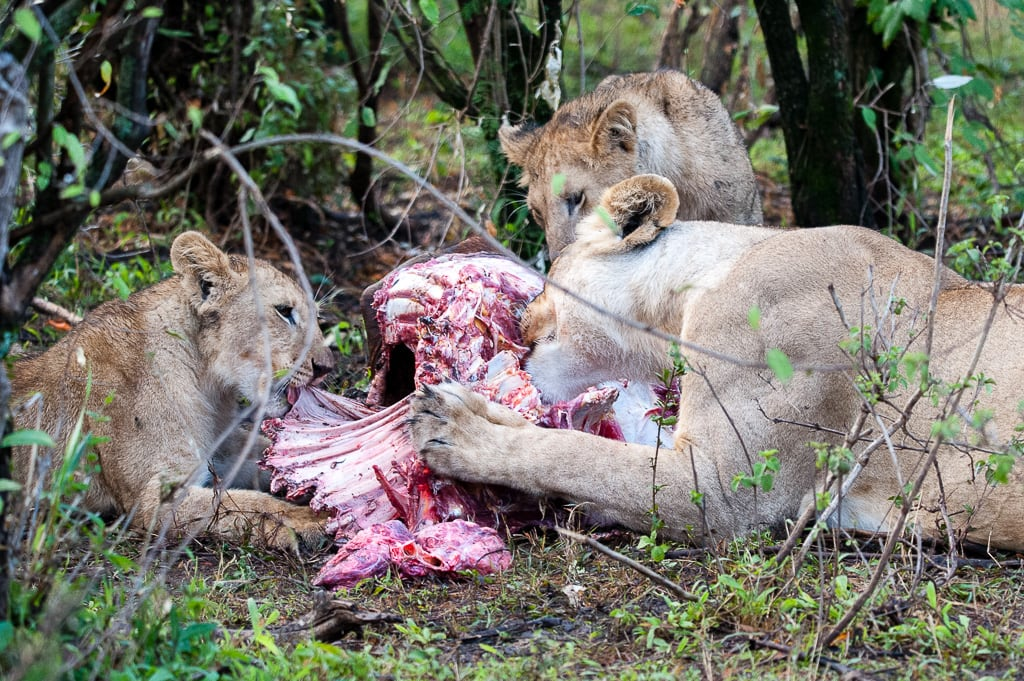Lions with their lunch