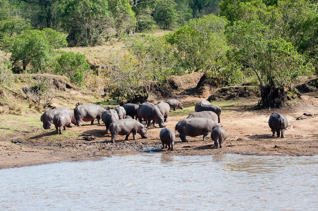 Hippos by the river
