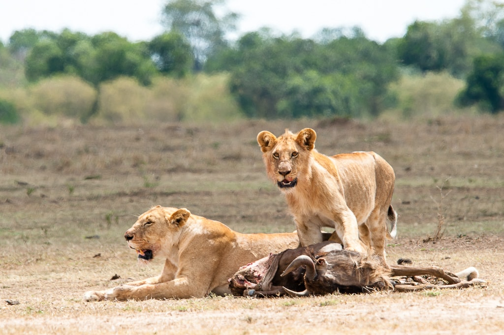Two lions with their dinner